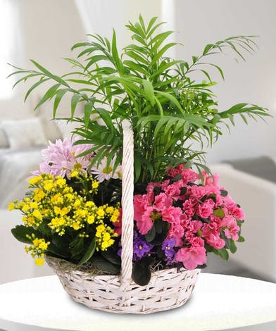 Green & blooming plants in a handled basket.