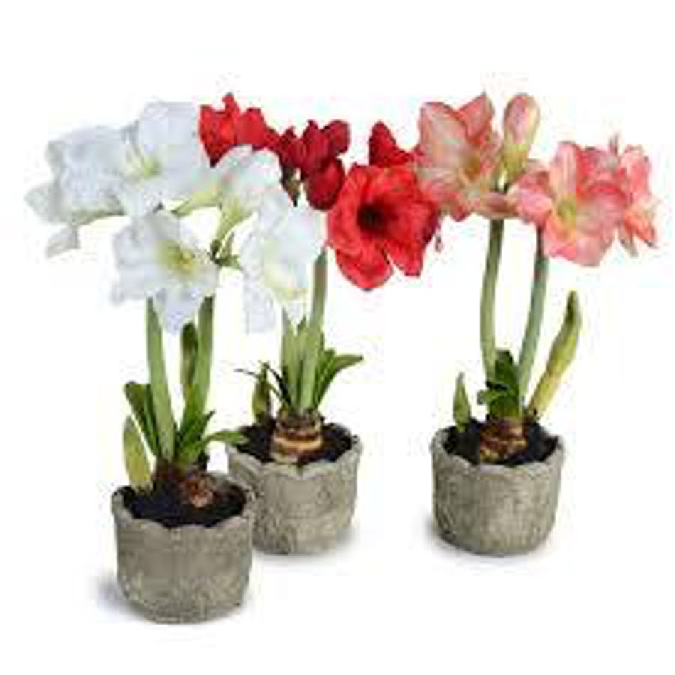 Amaryllis plant in a variety of colors.