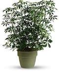 Arbicola Plant
