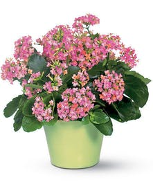 Blooming kalanchoe plant in a charming container.