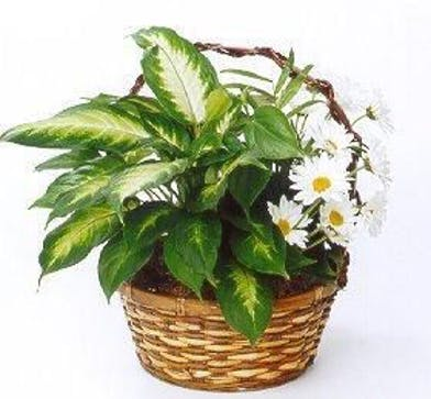 Woven wicker basket filled with assorted green plants and cut daisies.
