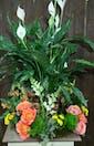 Flowering Spathiphyllum