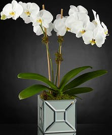 Elegant Orchids - Gordon Boswell Flowers
