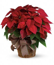 Large Christmas poinsettia plant in a charming basket accented with a bow.
