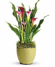 Mini Calla Lily Plant