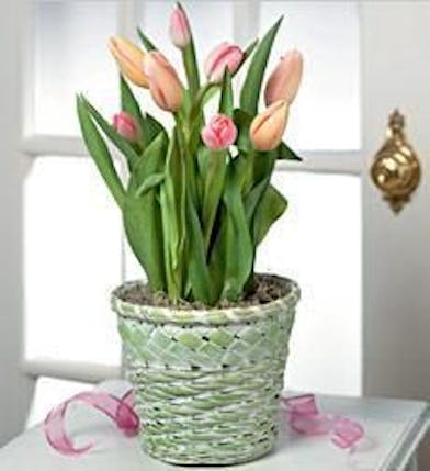 Tulip plant in a woven basket.