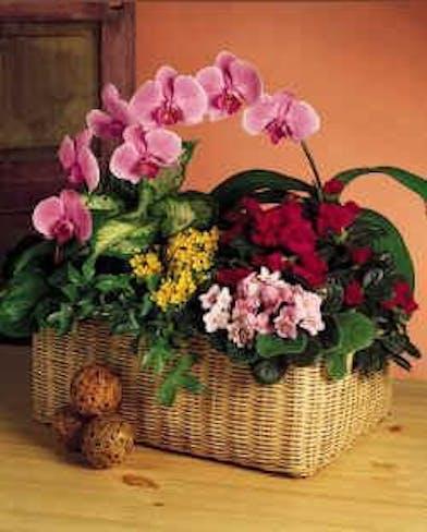 Garden Basket - Orchid Plant - Gordon Bowell Flowers