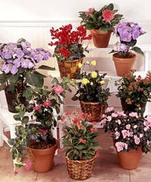 An assortment of easy to care for blooming plants ready for gifting.
