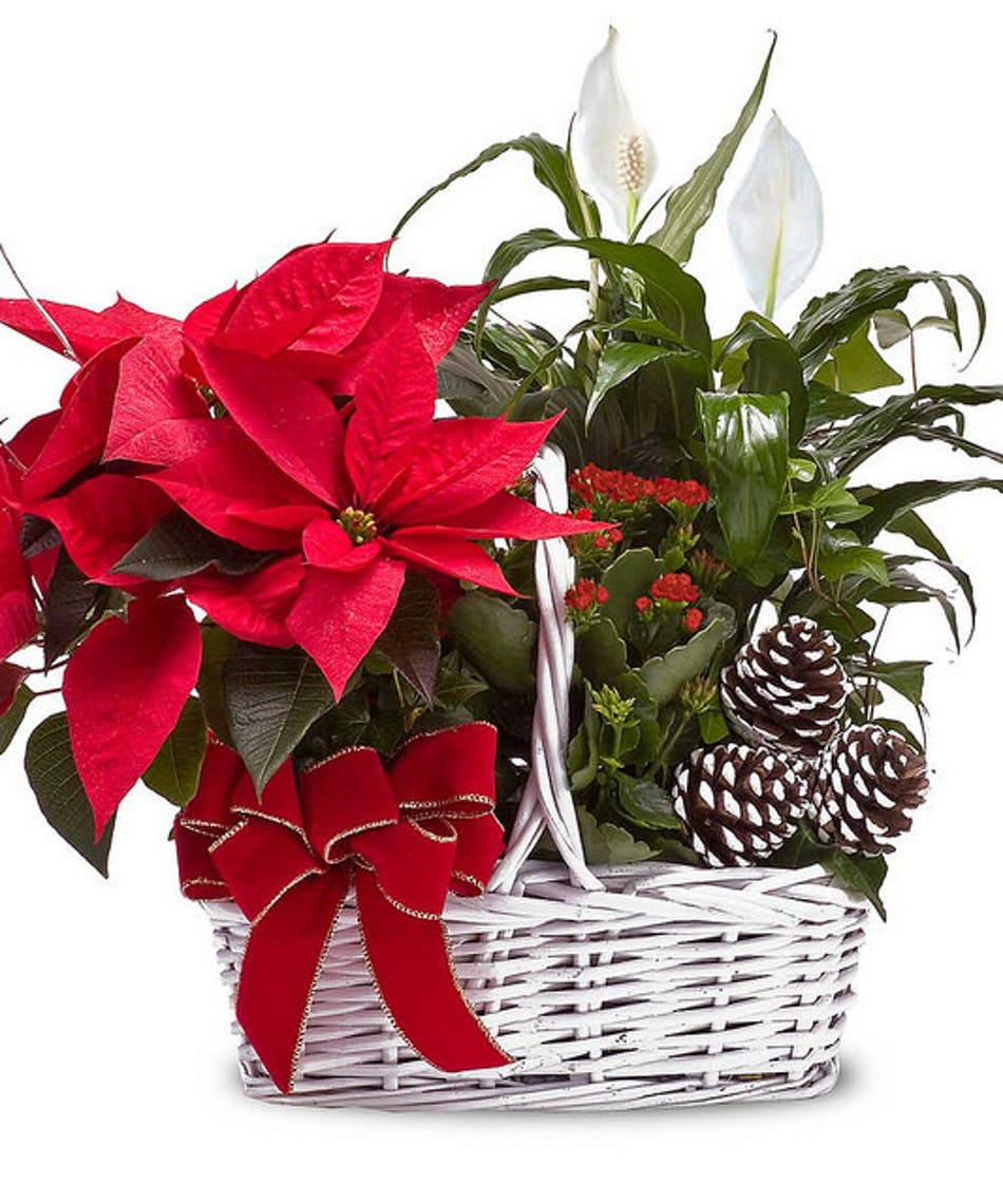 Poinsettia Basket Delivery Fort Worth, TX | Gordon Boswell Flowers