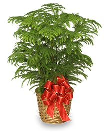 Norfolk pine plant in a wicker basket tied with a red bow.