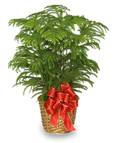 Norfolk Pine - Gordon Boswell Flowers