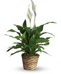 Blooming Peace Lily