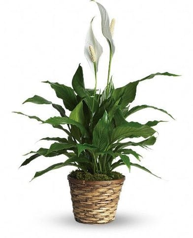 Blooming peace lily plant in a woven basket planter.