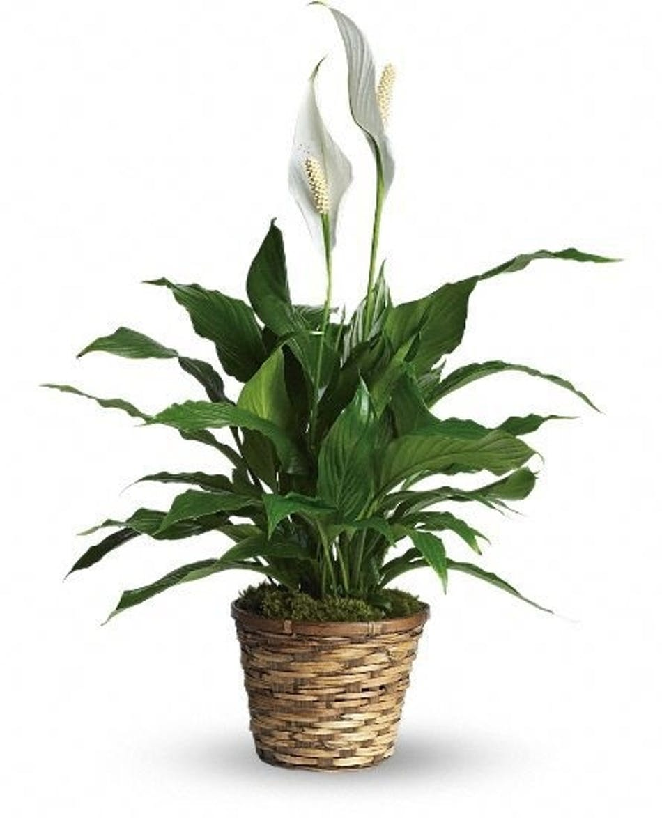 Fort Worth Flower Delivery Peace Lily Gordon Boswell Flowers
