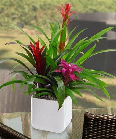 Bromeliad plant in a white ceramic planter.