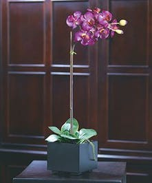 With its understated elegance, our Phalaenopsis Orchid plant is easier to maintain than its beauty would suggest.