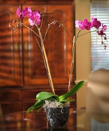 Double Orchid Plant Delivery - Gordon Boswell Flowers