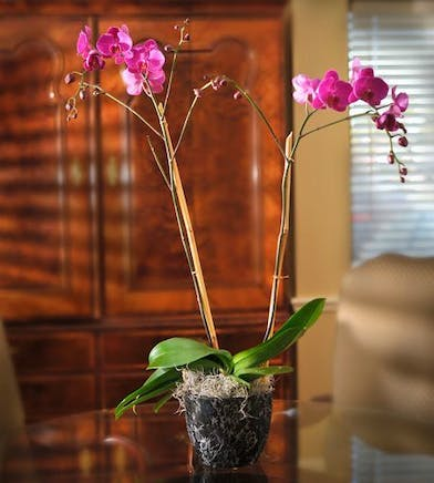 Double phalaenopsis orchids in a charming container.