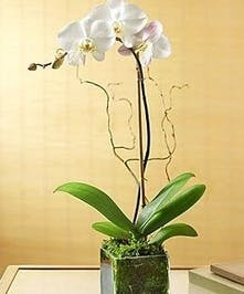 Stunning is the word that best describes this premium Phalaenopsis orchid . Phalaenopsis comes with up to nine large blooms displaying beautiful yellow centers