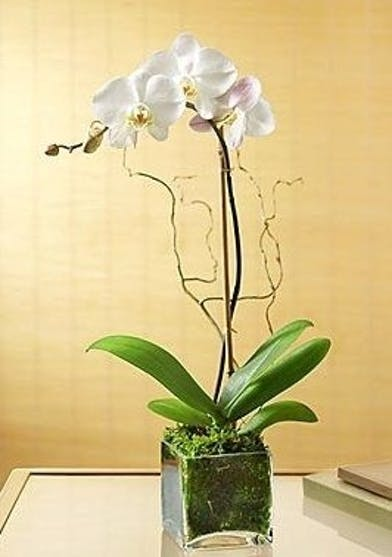 Phalaenopsis comes with up to nine large blooms displaying beautiful yellow centers