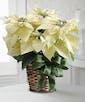 Traditional Poinsettia White